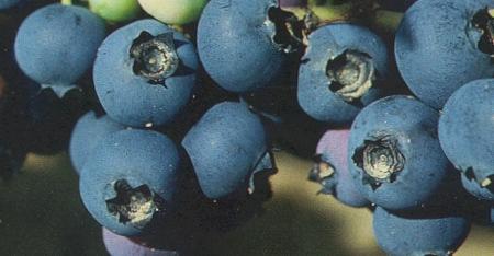 Vacc-North-Blue