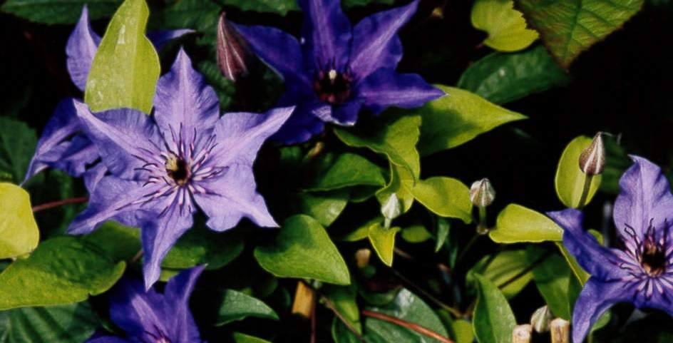 clematis-Tage-Lundell